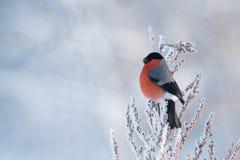 Męski gil na śnieżnej roślinie Zdjęcia Royalty Free