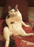 Męski gnuśny kot kłaść na łóżku relaksuje żołądek up Zdjęcie Stock