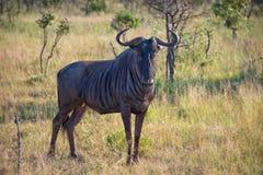 Męski gnu, Południowa Afryka Fotografia Stock