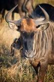 Męski gnu, Południowa Afryka Zdjęcie Stock