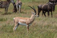 Męski Grant ` s gazeli stać wysoki zdjęcie stock