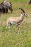 Męski Grant ` s gazeli stać wysoki obrazy royalty free