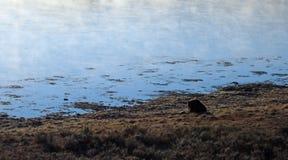 Męski grizzly niedźwiedzia knura łasowania łosia zwłoka w ranku świetle obok Yellowstone rzeki w Yellowstone parku narodowym w Wy obrazy stock