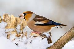 Męski grubodzioba Coccothraustes na gałąź w zimie Zdjęcie Royalty Free