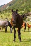 Męski horseon zielona łąka zdjęcie stock