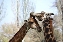 Męski i żeński żyrafa kares zdjęcia royalty free