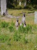 Męski i żeński kangur Obrazy Royalty Free