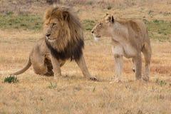 Męski i Żeński lew Fotografia Royalty Free