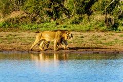 Męski i Żeński lew iść pić przy wschodem słońca przy Nkaya niecki podlewania dziurą w Kruger parku narodowym Obraz Royalty Free