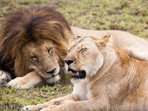 Męski i żeński lew pary dosypianie na zielonych gras Zdjęcie Royalty Free