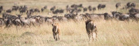 Męski i żeński lwa badyla wildebeest stado Obrazy Royalty Free