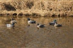 Męski i żeński mallard nurkuje na Hockanum rzece, Vernon, Łączy Zdjęcie Royalty Free