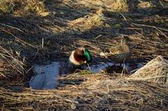 Męski i żeński mallard nurkuje w wiosna lesie Zdjęcie Stock