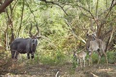 Męski i żeński Nyala i ich dziecko w Kruger parku narodowym, Południowa Afryka Obrazy Stock
