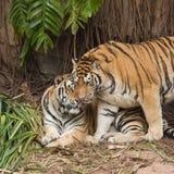 Męski i żeński tygrys Zdjęcia Royalty Free