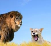 Męski i Żeński lew Zdjęcie Royalty Free