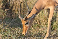 Męski Impala fotografia stock