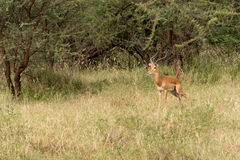 Męski Impala obrazy royalty free