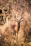 Męski Impala Chuje w sawannie Południowa Afryka, Mapungubwe park narodowy Fotografia Royalty Free