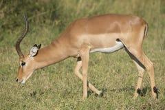 Męski Impala Południowa Afryka (Aepyceros melampus) Obrazy Stock