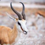 Męski impala portret, afrykańska przyroda w Etosha parku narodowym, Namibia, Afryka Zdjęcia Stock