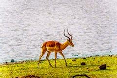 Męski Impala przy podlewanie dziurą w Kruger parku narodowym Obrazy Royalty Free