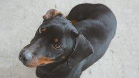 Męski jamnik Przyglądający W górę Śliczny Śmieszny jamnika pies zdjęcie wideo