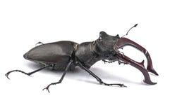 Męski jeleń ścigi pluskwy insekt Zakończenie boczny widok odizolowywający na whit obraz royalty free