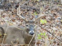 męski jeleni śledzić white Zdjęcie Stock