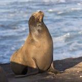 Męski Kalifornia Denny lew wygrzewa się w słońcu - San Diego, Calif obraz royalty free