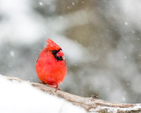 Męski kardynał W śniegu Obrazy Royalty Free