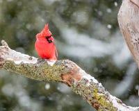 Męski kardynał W śniegu Obraz Stock