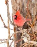 Męski kardynał W śniegu Zdjęcia Stock