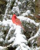 Męski kardynał W śniegu Zdjęcia Royalty Free