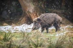 Męski knur w spada śniegu Zdjęcie Royalty Free