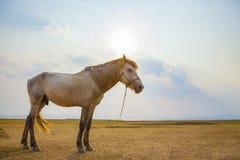 Męski koń w rolnym polu przeciw słońca światła niebu Obraz Royalty Free
