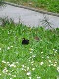 Męski kos i kosa kurczątko w trawie Zdjęcie Stock