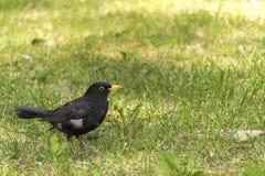 Męski kosa zakończenie w górę ptaka (zakończenie w górę kosa) Obrazy Royalty Free