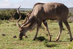 Męski kudu łasowanie Obraz Stock