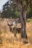 Męski kudu Chuje w sawannie Południowa Afryka, Mapungubwe park narodowy Obrazy Royalty Free