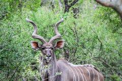 Męski kudu gra główna rolę przy kamerą Zdjęcie Royalty Free