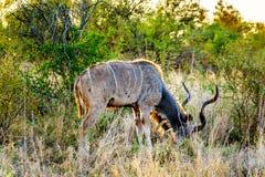 Męski kudu pasanie w susza dotkniętym sawannowym terenie środkowy Kruger park narodowy Zdjęcia Stock