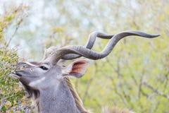 Męski kudu w krzaku Przyroda safari w Kruger parku narodowym, specjalizuje się podróży miejsce przeznaczenia w Południowa Afryka Zdjęcie Royalty Free