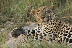 Męski lampart Południowa Afryka (Panthera pardus) Obraz Royalty Free