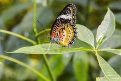 MĘSKI lamparta LACEWING motyl, zbliżenie Fotografia Stock