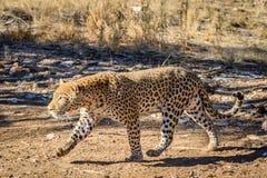 Męski lamparta odprowadzenie wzdłuż śladu w Namibia, Afryka Obrazy Stock