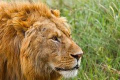 Męski lew głowy portret Fotografia Stock