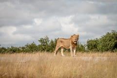 Męski lew gapi się przy kamerą Fotografia Royalty Free