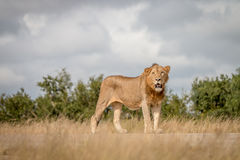 Męski lew gapi się przy kamerą Obraz Stock