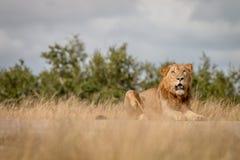Męski lew gapi się przy kamerą Zdjęcia Stock